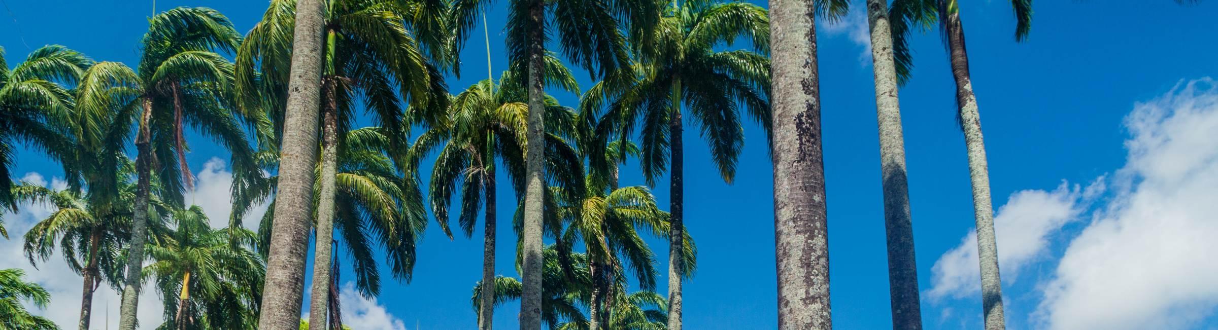 Des palmiers en Guyane Française